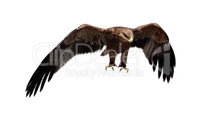 Steppe eagle. (Aquila rapax)