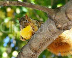 squirrel eating apple