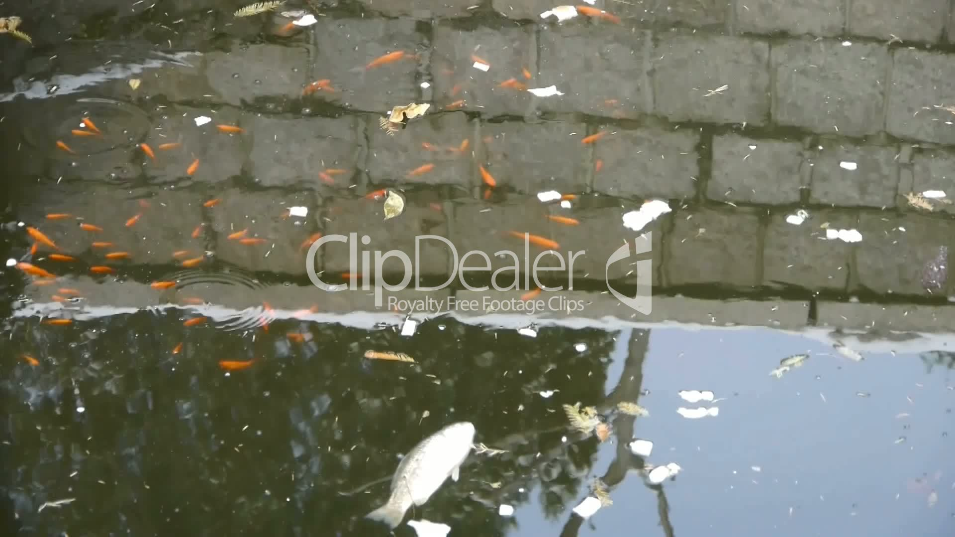 fish in dirty water,pollute environment,reflection : Royalty-free