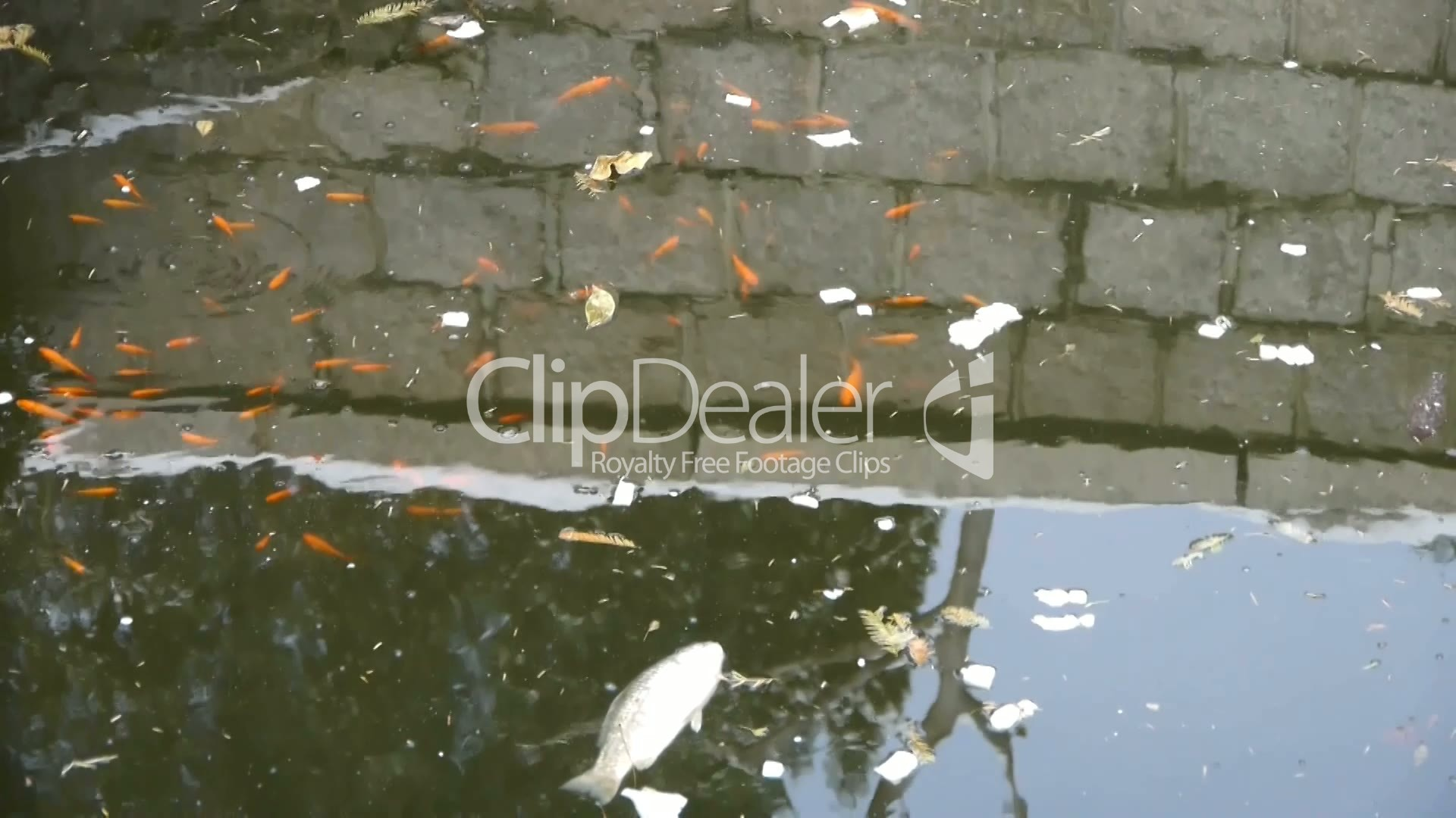fish in dirty water,pollute environment,reflection : Royalty