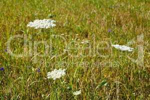 Flowering Apiaceae Plants