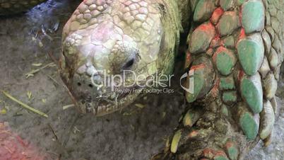 Giant galapagos tortise