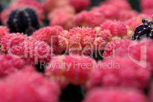Red cacti, shallow DOF