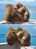 Barbary monkey grooming another in Gibraltar
