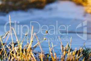 verdorrtes Gras bei Frost