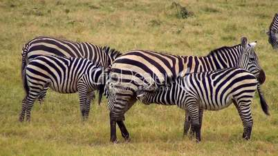 Säugende Zebras