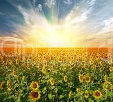 landscape sunflower field