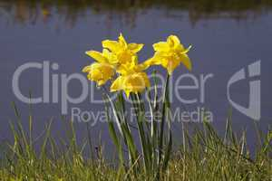 Osterglocken am Bach - Daffodils at a brook in the Netherlands