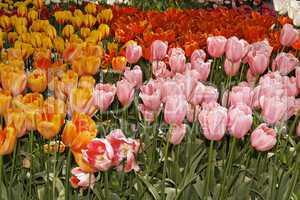 Tulpenblüten im Frühling, Niederlande - Tulip flowers in spring, Netherlands
