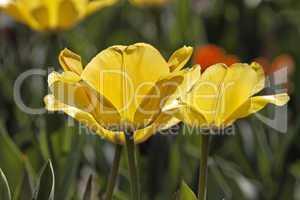 Gelbe Tulpen im Gegenlicht - Backlit photo of yellow tulips