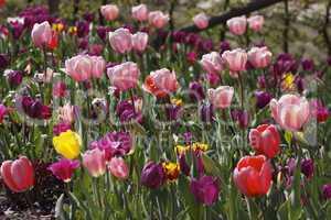 Frühlingsgarten mit rosa Tulpen - Spring garden with pink tulips, Germany