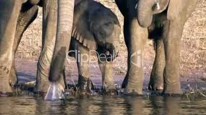 Elefanten Familie beim trinken