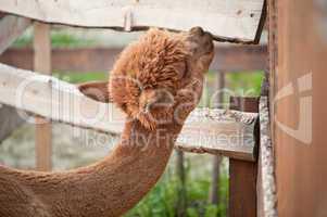 Alpaca nibble on wooden tiles