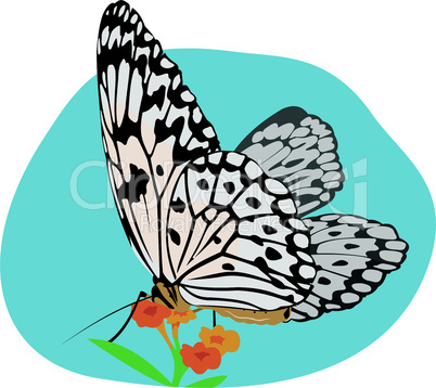 butterfly (idea leuconoe)