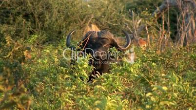 Namibischer Wasserbüffel