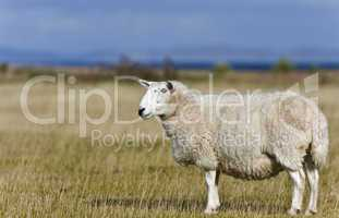 single sheep on grass in scottish highlands