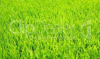 rasen - lawn