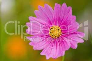 Single cosmos flower