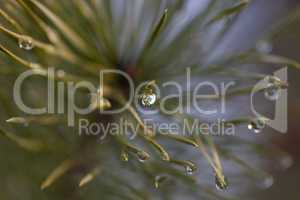 Water drop on pine-needle
