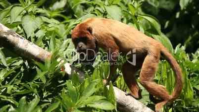 Affe im Regenwald