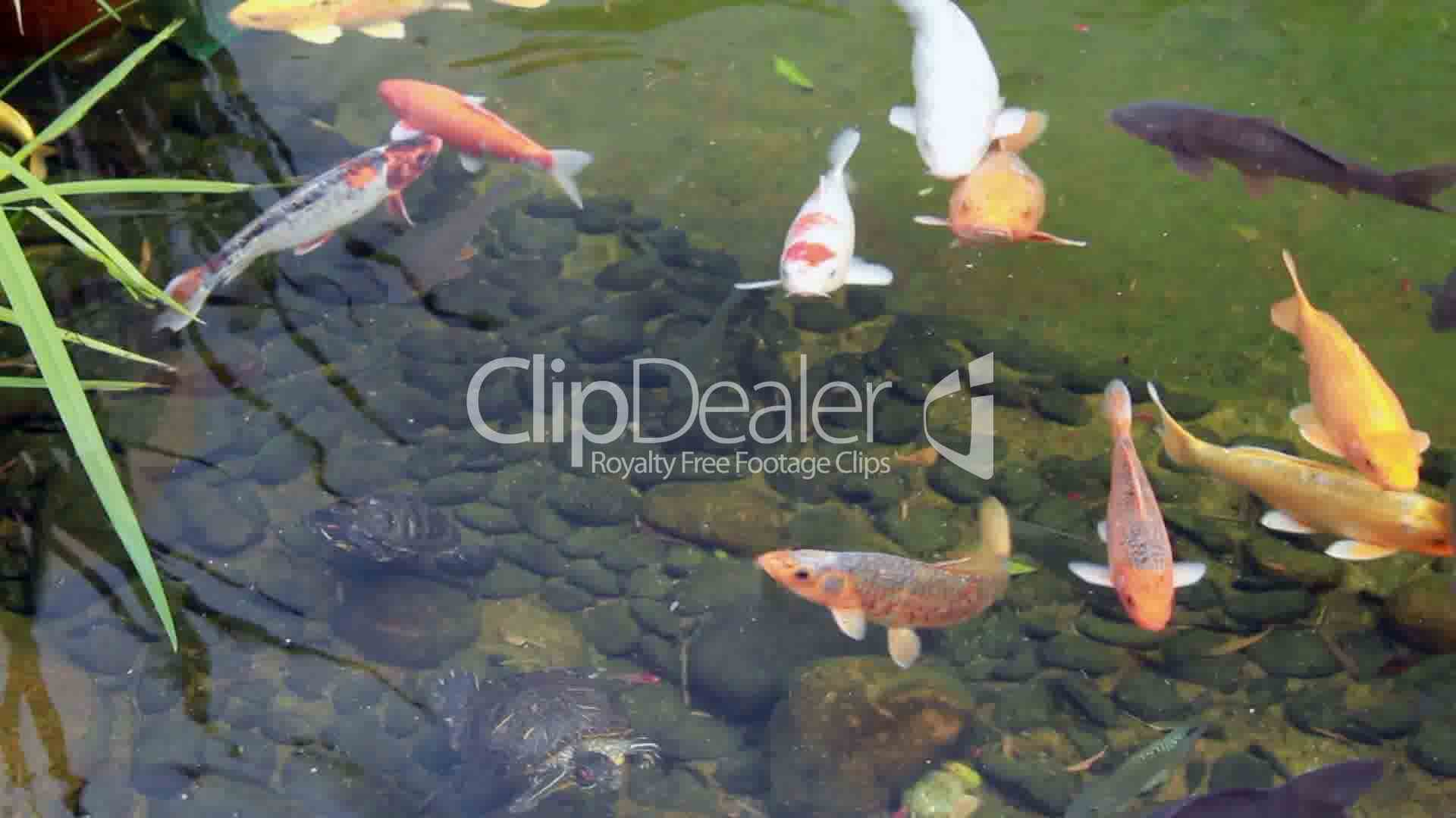 Koi carp royalty free video and stock footage for Koi fish living conditions