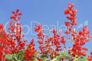Red bright flowers