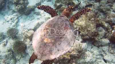 Green sea turtle 02