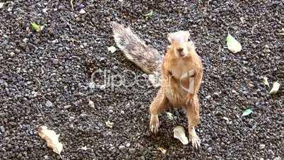 Afrikanisches Borstenhörnchen (Xerus)