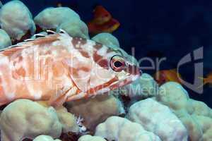 Blacktip grouper (epinephelus fasciatus) in de Red Sea.