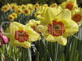 Narcissus 'Border Beauty', Narzisse, Osterglocke - Narcissus 'Border Beauty', narcissus, daffodil