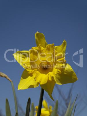 Narcissus-Hybride, Narzisse, Osterglocke - Narcissus hybrid, narcissus, daffodil
