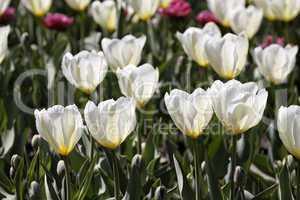 Weisse Tulpen im Gegenlicht - Backlit photo of white tulips, Germany