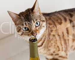 Cute kitten sniffing wine bottle