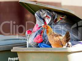 Hen in trash container