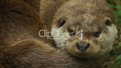 Cute otter yawning, close up
