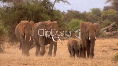 Afrikanischer Elefant (Loxodonta africana), Herde
