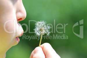 pusteblume vor dem blasen
