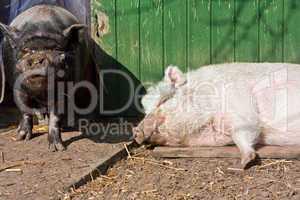 Zwei Schweine
