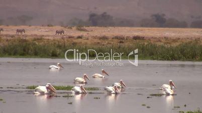 Pelikane (Pelecanidae, Pelecanus)