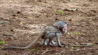 Grünes Meerkatzen- Baby (Chlorocebus)
