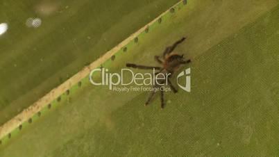 Große Spinne, Südamerika