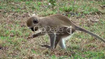 Grüne Meerkatze (Chlorocebus)