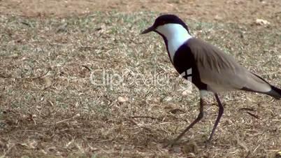 Spornkiebitz (Vanellus spinosus)
