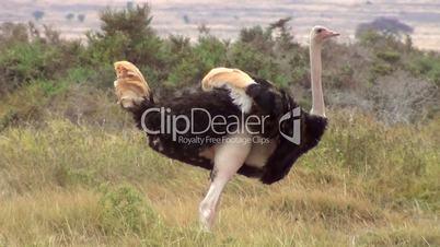 Afrikanische Strauß (Struthio camelus)