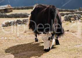 rural life in Nepal: Yak and highland village