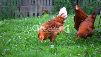 Chicken poultry eat organic on green grass