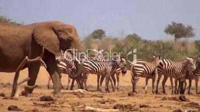 Afrikanische Elefanten  und Zebraherde