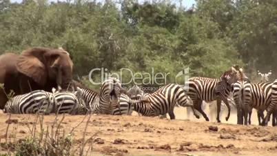 Zebraherde und Elefant