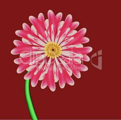 Excellent pink flower is aster