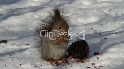 squirrel eats pine nuts